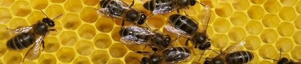 plusieurs abeilles